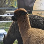 Shepherd's Criation Alpacas