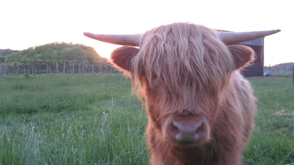 Big Head, the resident Scottish Highland cow {Photo Courtesy Cedar Creek}